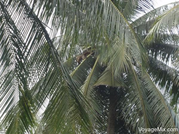 обезьян, которые собирали кокосы с деревьев