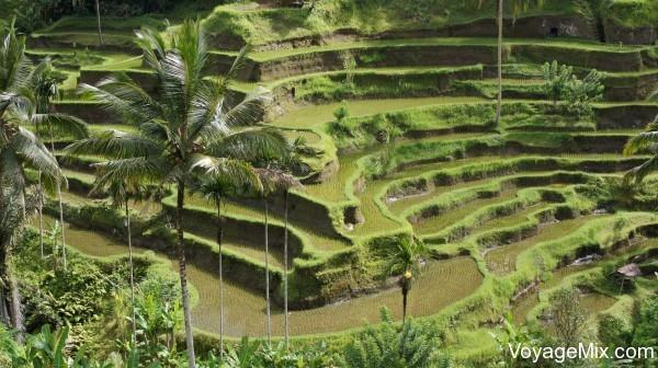 рисовые терассы Тегалаланг
