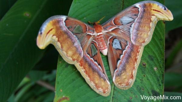 Бабочка размером с ладонь