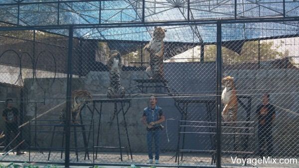 Шоу тигров