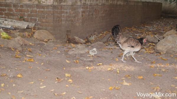 Курица с цыпленком на территории храма