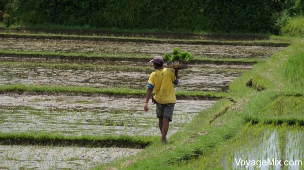 налюбовались чудесными рисовыми плантациями и тем как балийцы трудятся