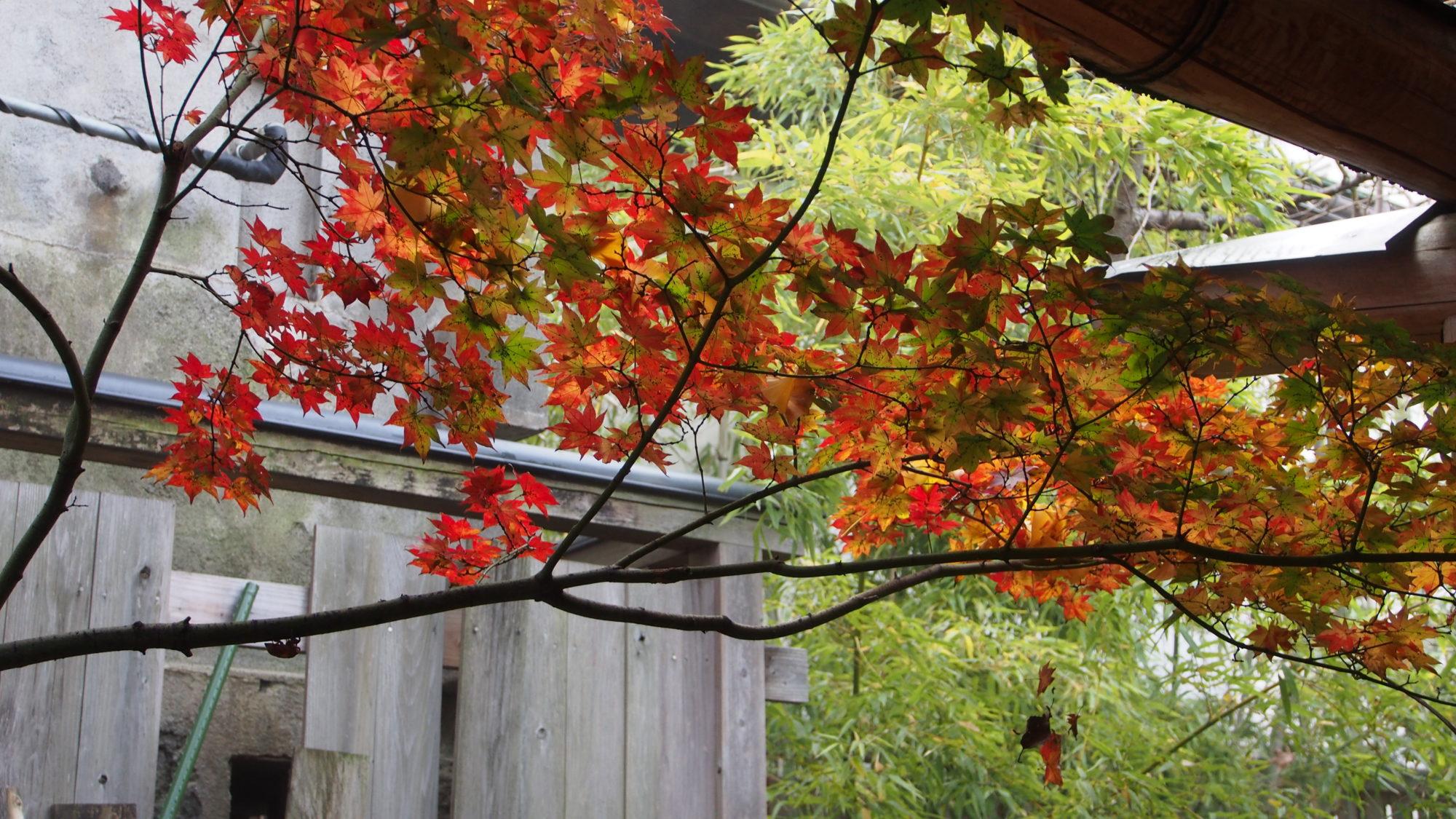Любуемся листьями лежа в горячем источнике